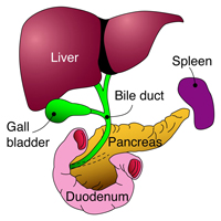 Gallstones hpblondon the gall bladder is a pear shaped bag that lies under the liver beneath the rib cage on the right side of the abdomen the bile ducts within the liver all ccuart Images