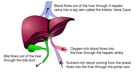 The liver hpblondon the liver ccuart Image collections